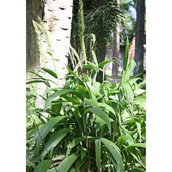 Palm Grass