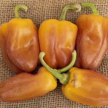 Sweet pepper Yolo Wonder