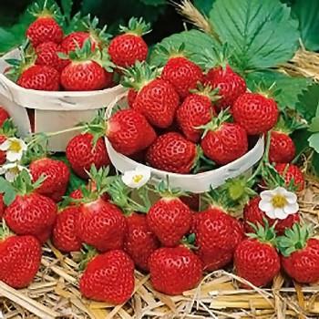Alpine Strawberry Four Seasons