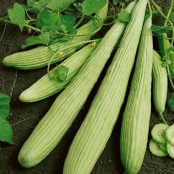 Cucumber Armenian Yard Long