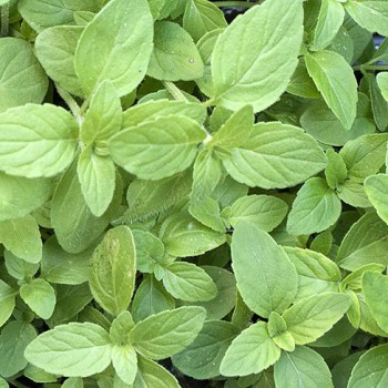 Munt Banaan plant