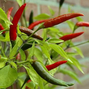 Hot pepper Bird Eye