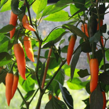 Hot pepper Bulgarian Carrot