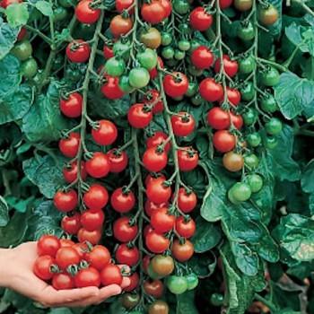 Cherry tomato Cerise