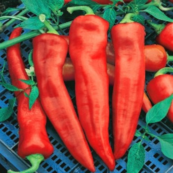 Pointy sweet pepper Corno di Toro Rosso