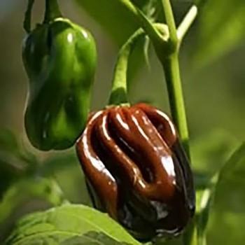 Hot pepper Habanero Chocolate