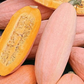 Pumpkin Jumbo Pink Banana