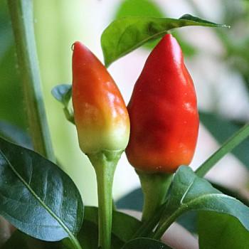 Hot pepper Little Elf
