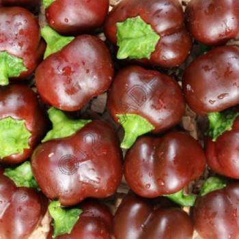 Paprika plant Mini Bell choco