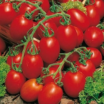 Plum Tomato Plant in a 14cm Pot with Fruits on