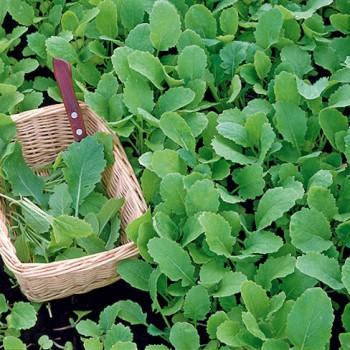 Green Turnip-Tops