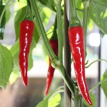 Hot pepper Ring of Fire