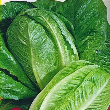 Romaine lettuce Paris Island Cos