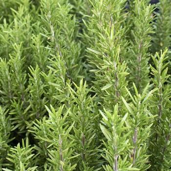 Rozemarijn plant