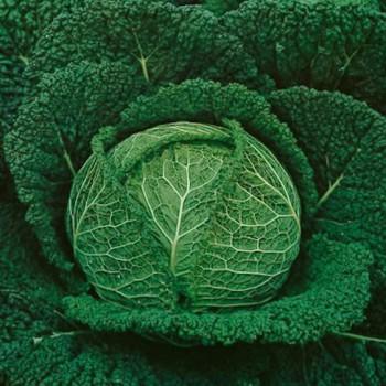 Savoy Cabbage Perfect Savoy