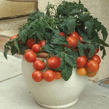 Container tomato Tiny Tim