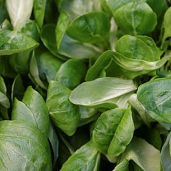 Valerianella olitoria Samen Feldsalat 500 Dutch Corn Salad