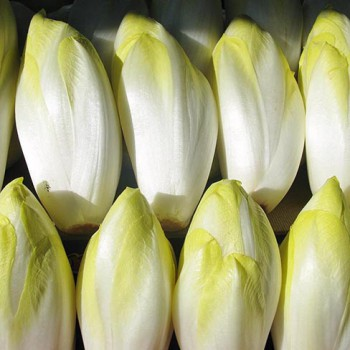 Chicory Hollandse Middelvroeg