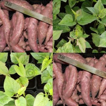 Zoete aardappe plantjes Tainung 65