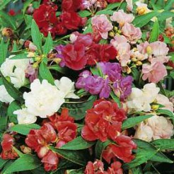 Bussy Lizzy  Camellia Doubleflowered mixed