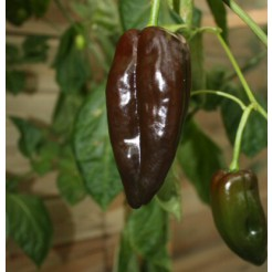 Hot pepper Mulato Isleno