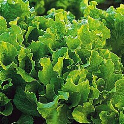 Picking lettuce Black Seeded Simpson