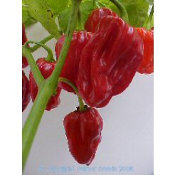 Peper Habanero Tobago Seasoning