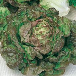 Butterhead lettuce Marvel of 4 seasons