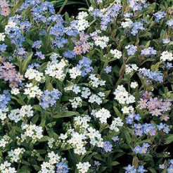 Forget-me-not Dwarf Mixed