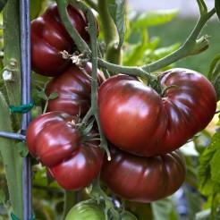 Beefsteak tomato Black Krim