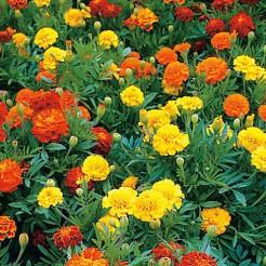 French Marigold Bonita mixed