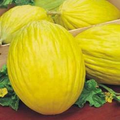 Melon Amarillo Oro