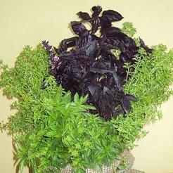 Basilicum pot mix