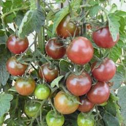 Cherry tomato Black Cherry
