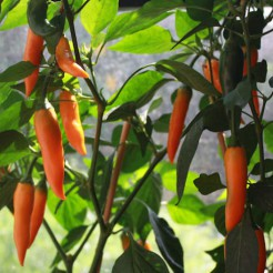 Hot pepper Bulgarian Carrot