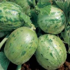 Cucumber Carosello tondo di Manduria