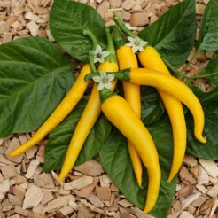 Hot pepper Cayenne Golden