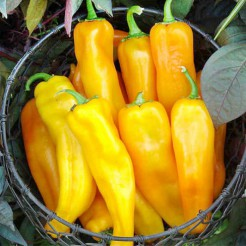 Pointy sweet pepper Corno di Toro Giallo