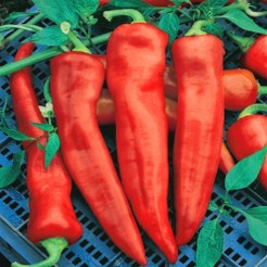 Pointy sweet pepper Corno di Toro Rosso