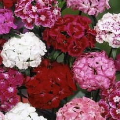 Sweet William Doubleflowered Mixed