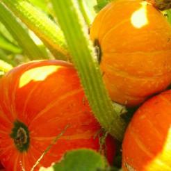 Pumpkin Golden Nugget