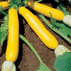 Courgette Goldena