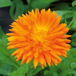 Pot Marigold Ball's Orange