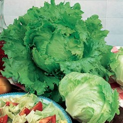 Iceburg lettuce Blonde de Paris