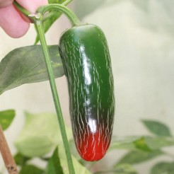 Hot pepper Jalapeno Biker Billy