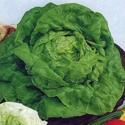 Butterhead lettuce Kagraner Summer