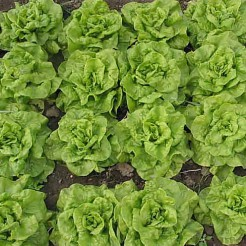 Butterhead lettuce Tom Thumb
