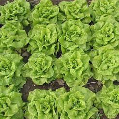 Butterhead lettuce Tom Thumb