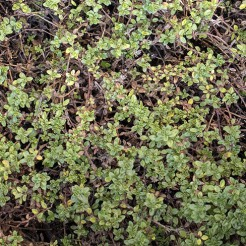 "Kruiptijm ""Carbon Wine and Rose"" plant"