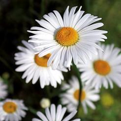 Ox-eye daisy May Queen